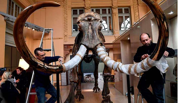Скелет шерстистого мамонта: сохранилось 80% костей