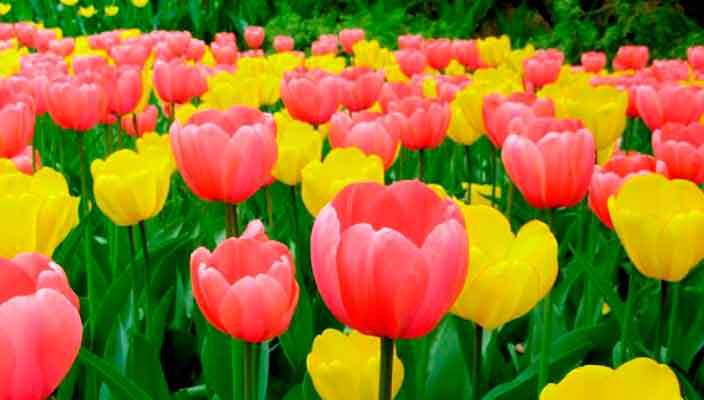 Всё, что нужно знать о тюльпанах